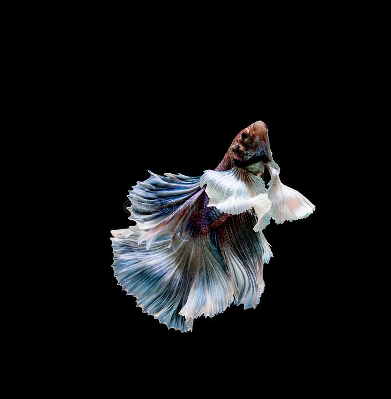 Betta fish, siamese fighting , betta splendens isolated on black background. Aggressive, animal, aquarium, aquatic, beautiful, beauty, blue, color, colorful royalty free stock image