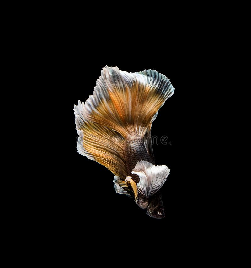 Betta fish, siamese fighting , betta splendens isolated on black background. Tail, nature, motion, pet, biology, water, aquarium, luxury, aquatic, colorful royalty free stock photography