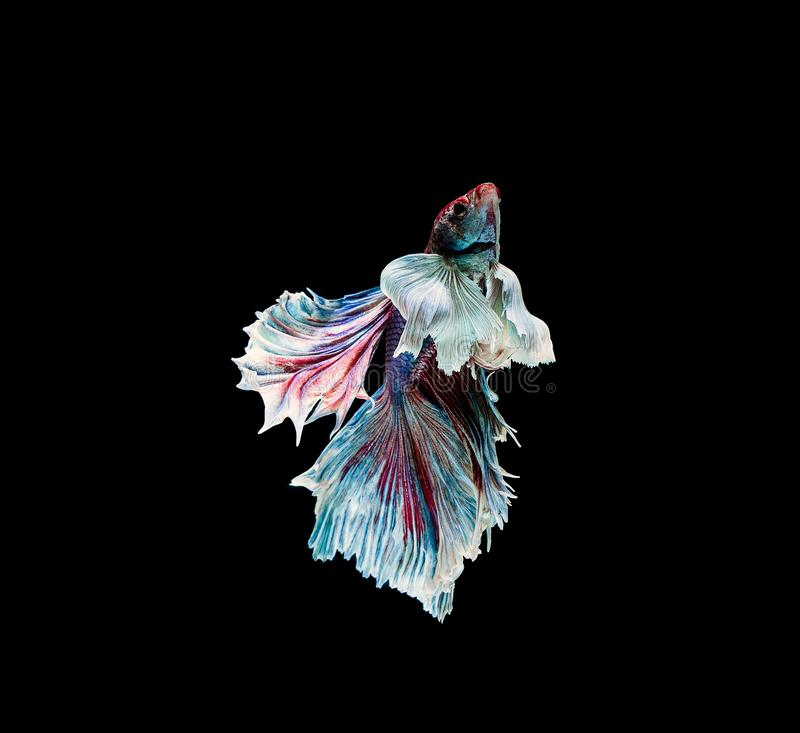 Betta fish, siamese fighting , betta splendens isolated on black background. Action, aggressive, animal, aquarium, aquatic, beautiful, beauty, close-up, color royalty free stock photography