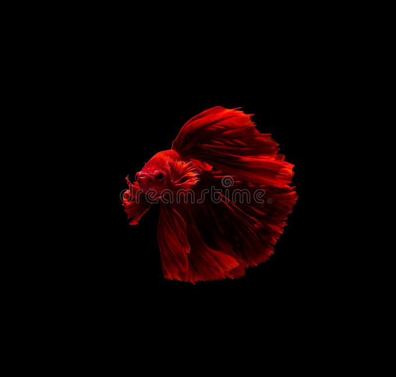 Betta fish, siamese fighting , betta splendens isolated on black background. Action, aggressive, animal, aquarium, aquatic, beautiful, beauty, close-up, color stock photo