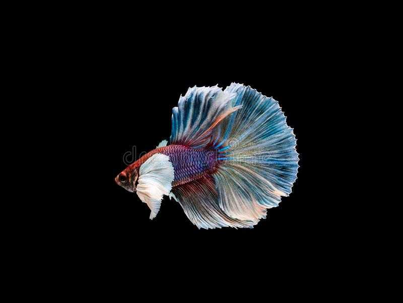 Betta fish, siamese fighting , betta splendens isolated on black background. Action, aggressive, animal, aquarium, aquatic, beautiful, beauty, close-up, color stock image