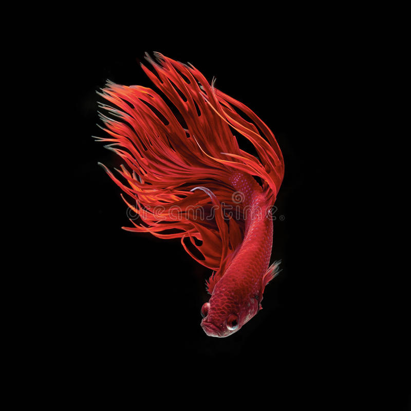 Betta fish. Siamese fighting fish, betta splendens isolated on black background royalty free stock photo