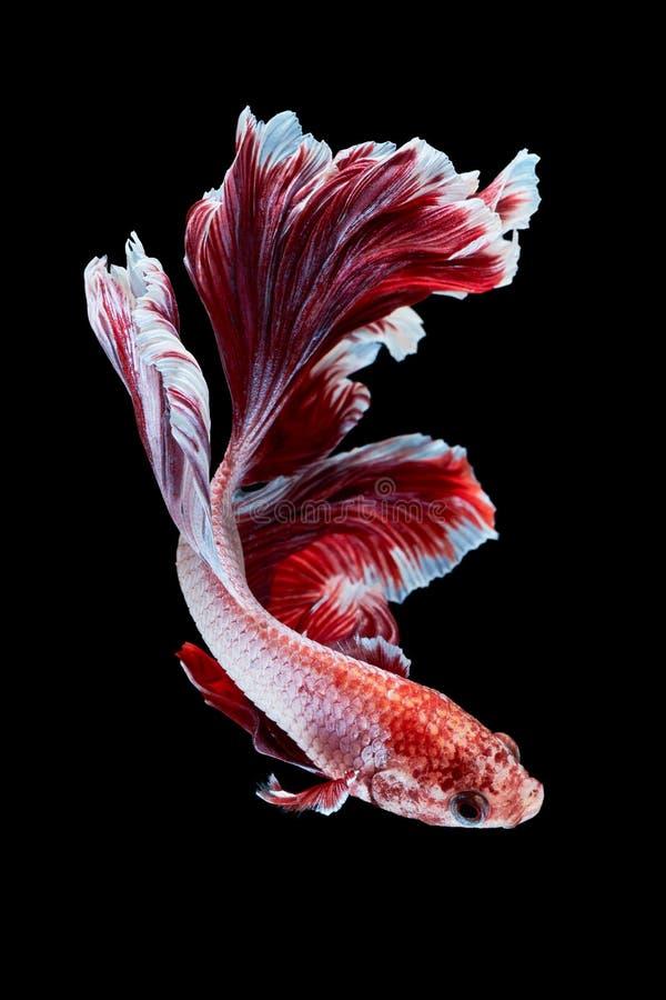 Betta fish. Siamese fighting fish, betta splendens isolated on black background stock photos