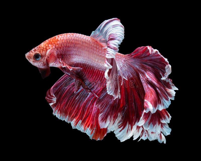 Betta fish. Siamese fighting fish, betta splendens isolated on black background royalty free stock photos