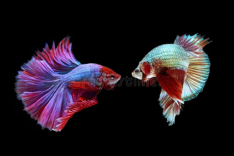 Betta fish. Siamese fighting fish, betta splendens isolated on Black background stock image
