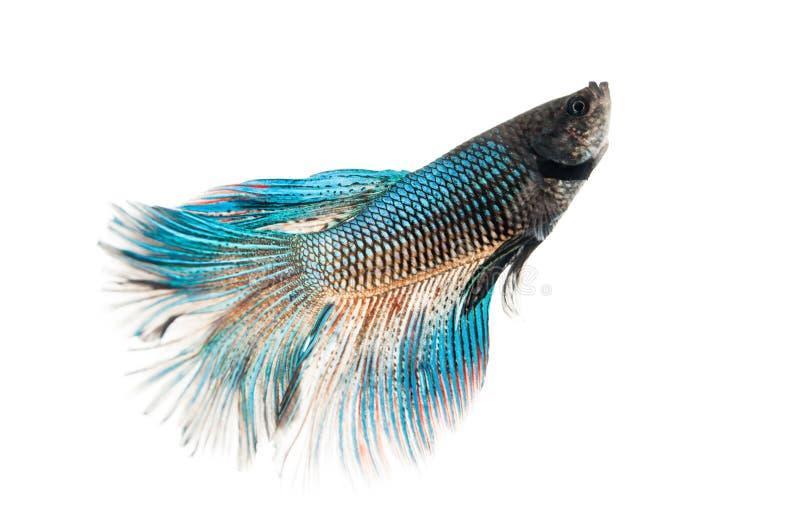 Betta fish. Siamese fighting fish Betta splendens isolated on white royalty free stock photography