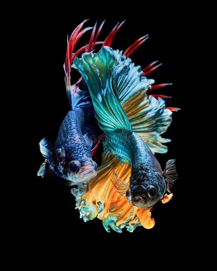 Betta fish. Betta splendens Siamese fighting fish & x22;Rosetail VS Trairong Crown tail& x22 stock photo