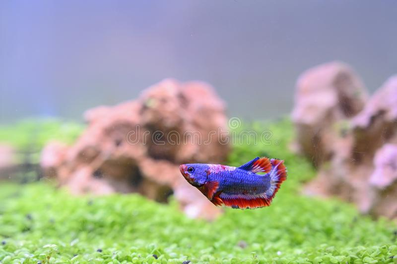 Betta on the fish tank background. Betta fish of Thailand on the fish tank background stock photography