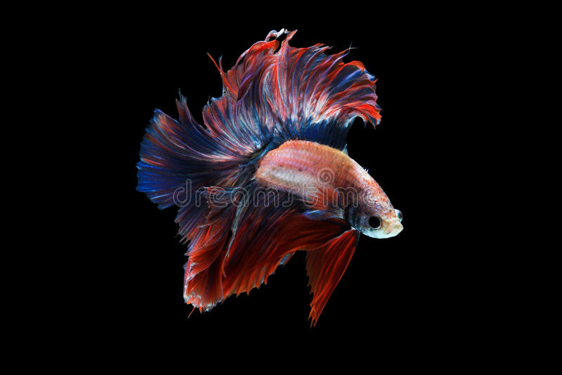 Betta fish. (Thai betta's) royalty free stock photo