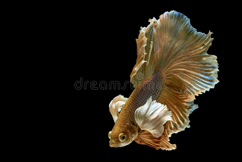 Betta Fish. A betta fish of Thailand on black background stock image