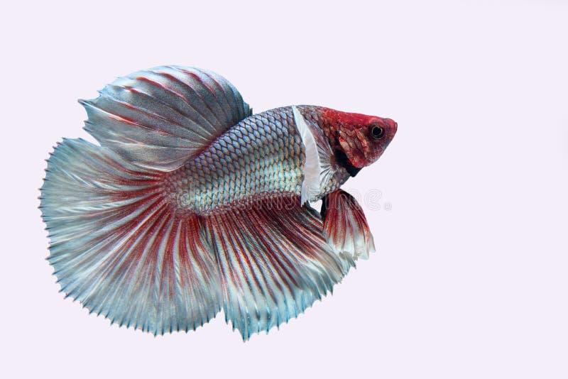 Betta fish. On white background stock image