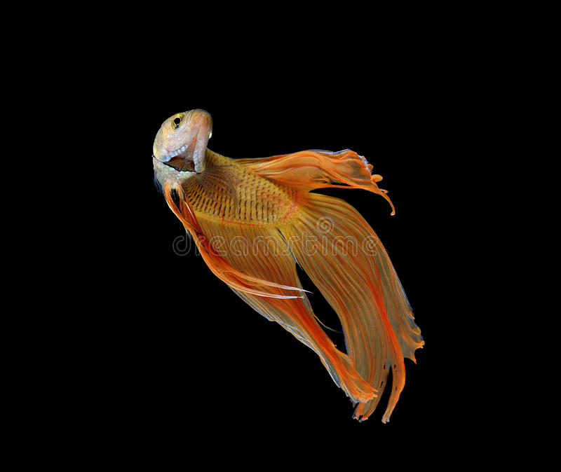 Download Betta Fish On White Background Stock Image - Image of blue, aggressive: 39512513