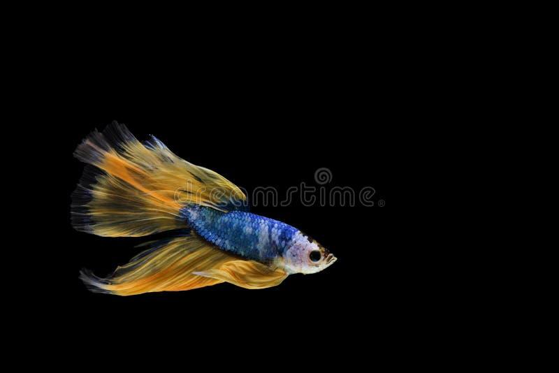 Betta fisk, siamese stridighetfisk, fan för bettasplendensHalfmoon royaltyfri foto