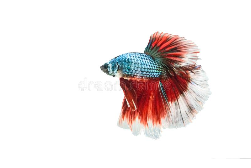 Betta fisk, Siamese stridighetfisk, Betta Splendens (Halfmoonvad arkivbild
