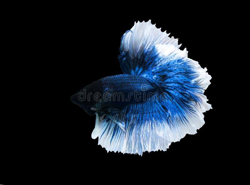 Betta halfmoon walczy pięknego ryba zakończenie up fotografia royalty free