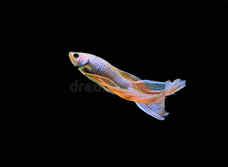 Betta ryba obraz royalty free