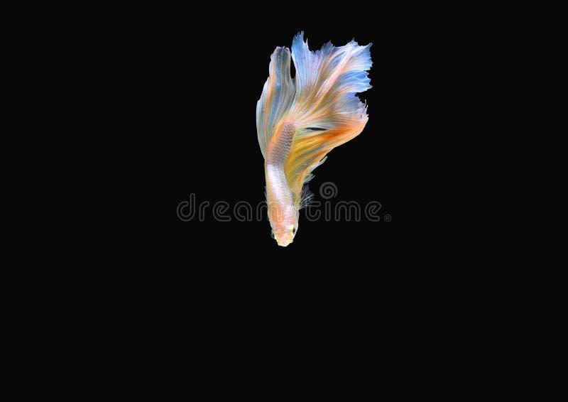 Betta ryba obrazy stock