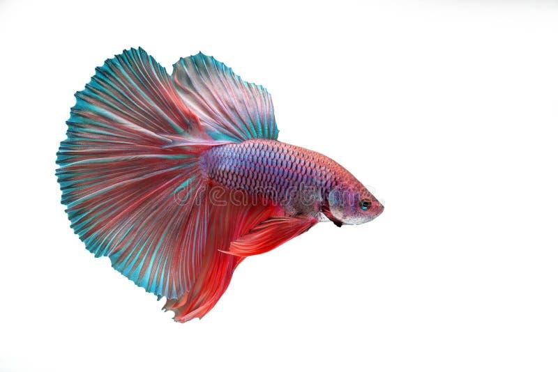 Betta ryba fotografia stock