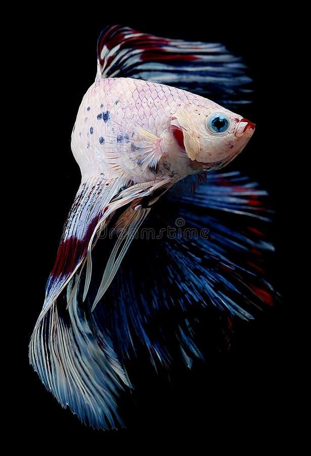 Betta ryba na czarnym tle fotografia stock