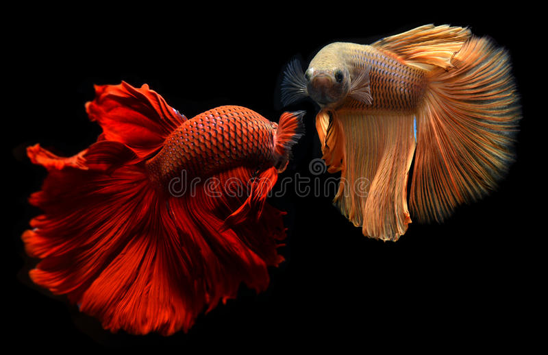 Betta or Saimese fighting fish. Fancy red and orange Betta or Saimese fighting fish swiming and show the motion of dress fin stock images