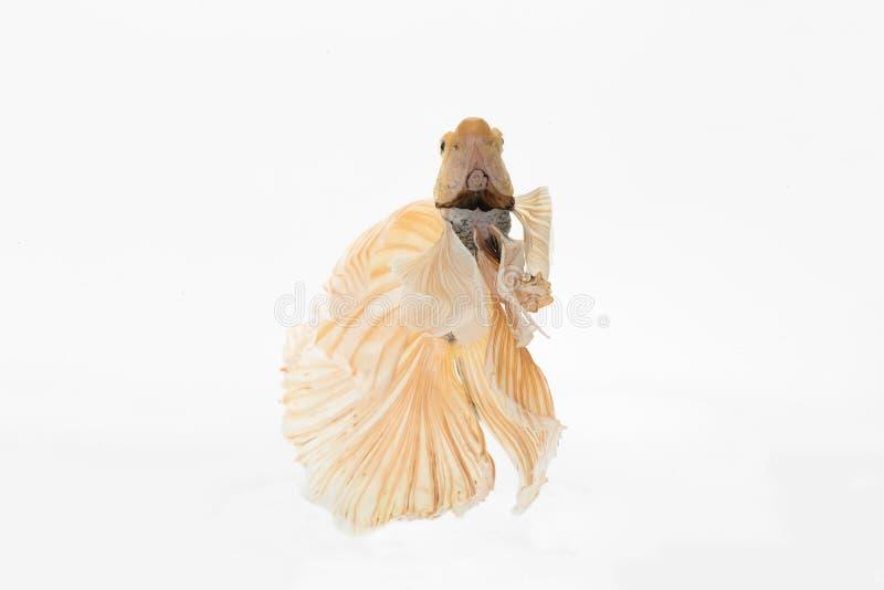 Betta siamese stridighetfisk arkivfoto