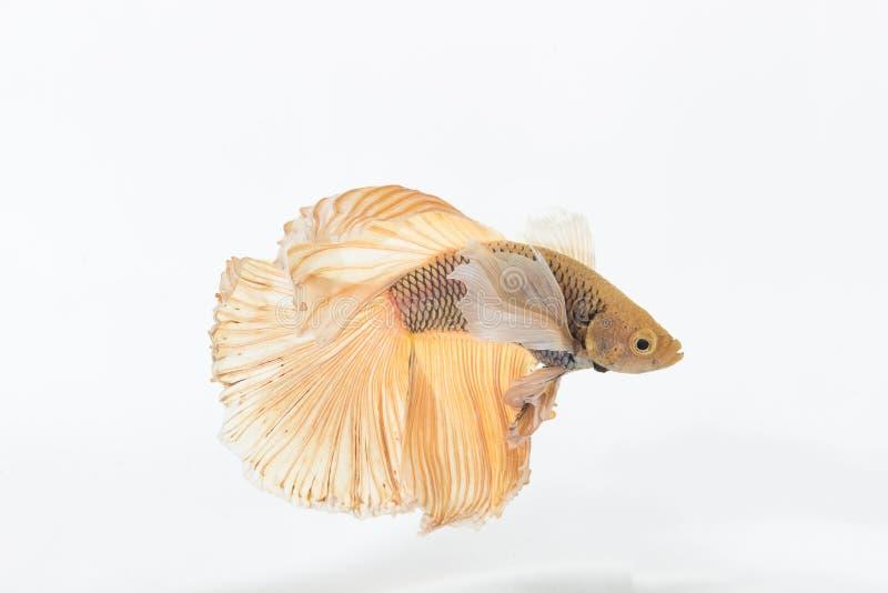 Betta siamese stridighetfisk royaltyfria foton