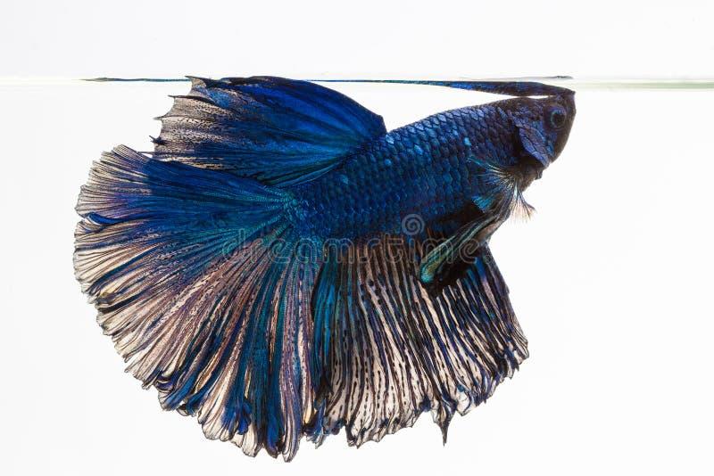 Betta siamese stridighetfisk arkivbilder