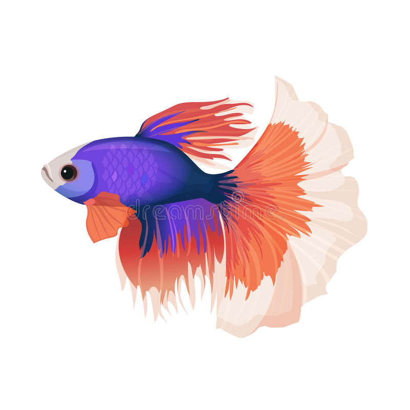 Betta small colorful, freshwater ray-finned fish realistic vector illustration. Isolated on white background. Siamese fighting fish with luxury red tail and stock illustration