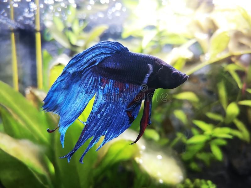 Betta splendens stock foto's