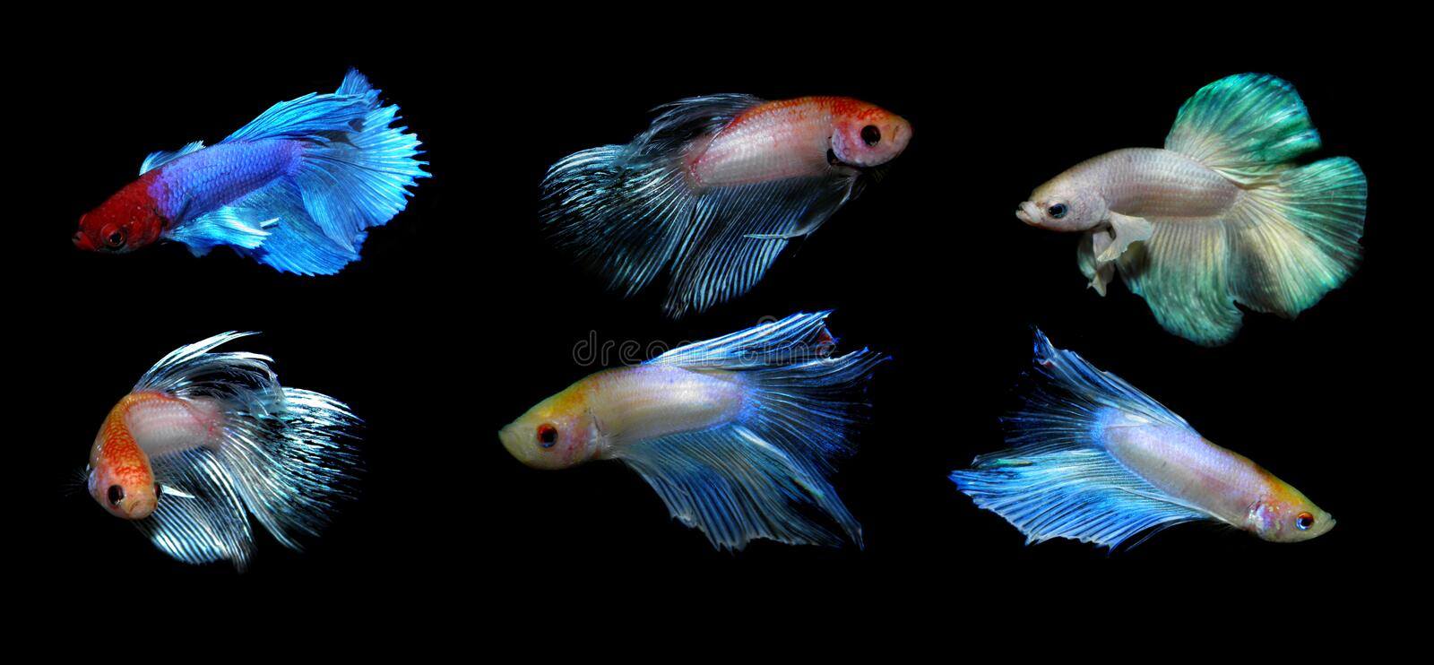 Betta splendens stock afbeelding