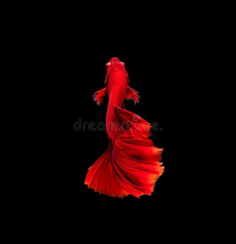 别田鱼,暹罗战斗的鱼,在黑背景隔绝的betta splendens 库存照片
