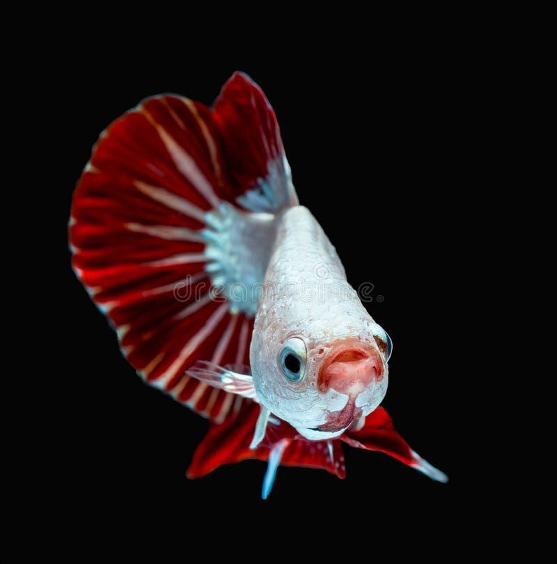Betta splendens Halfmoon Red Dragon Siamese fighting fish royalty free stock photography