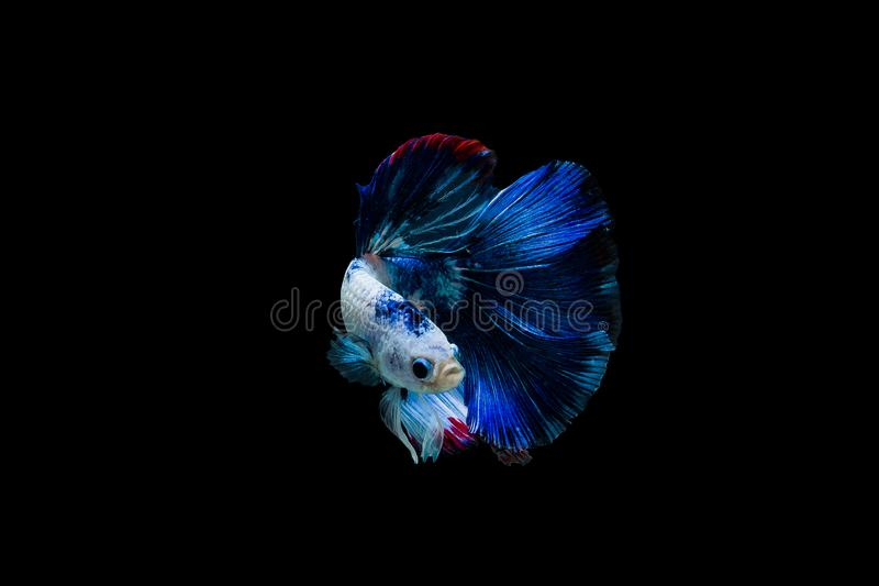 Betta splendenshalfmoon, färgrik siamese stridighetfisk, stridighetfisk på svart bakgrund, royaltyfri foto