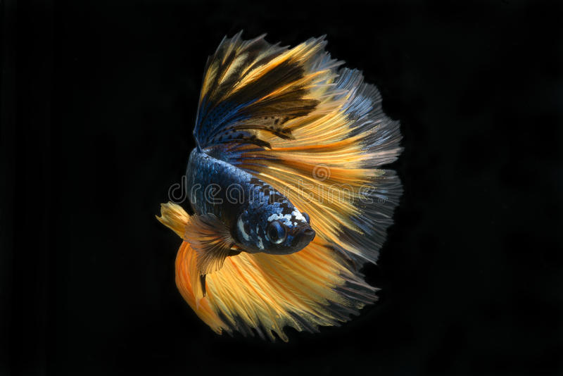 Betta stridighetfisk arkivbilder