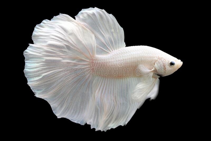 Betta White Platinum HM Halfmoon  Male or Plakat Fighting Fish Splendens. On Black Background royalty free stock images