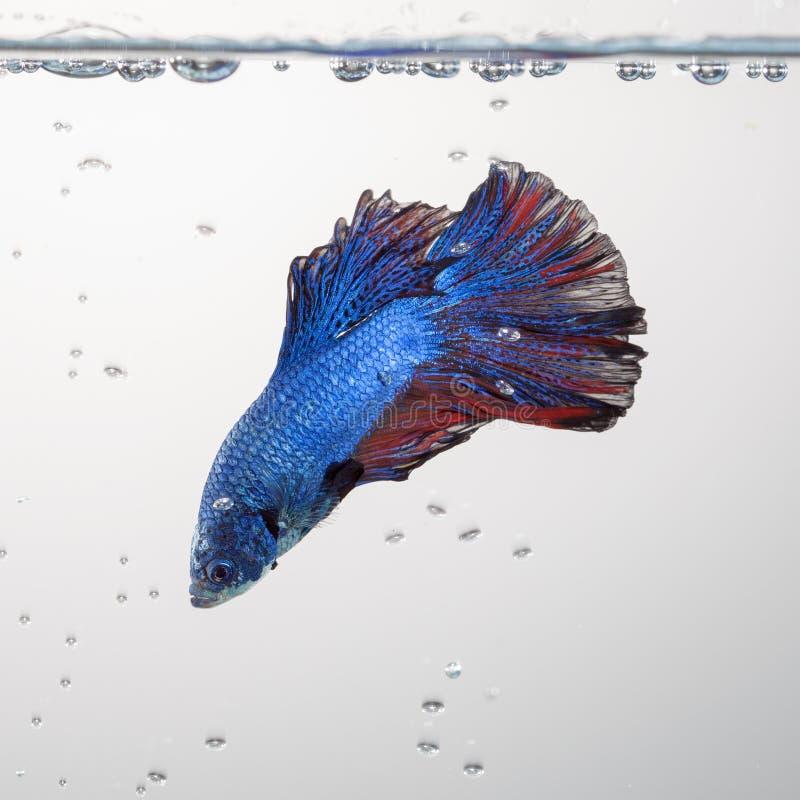 Bettavissen, Siamese het vechten vissen royalty-vrije stock afbeeldingen