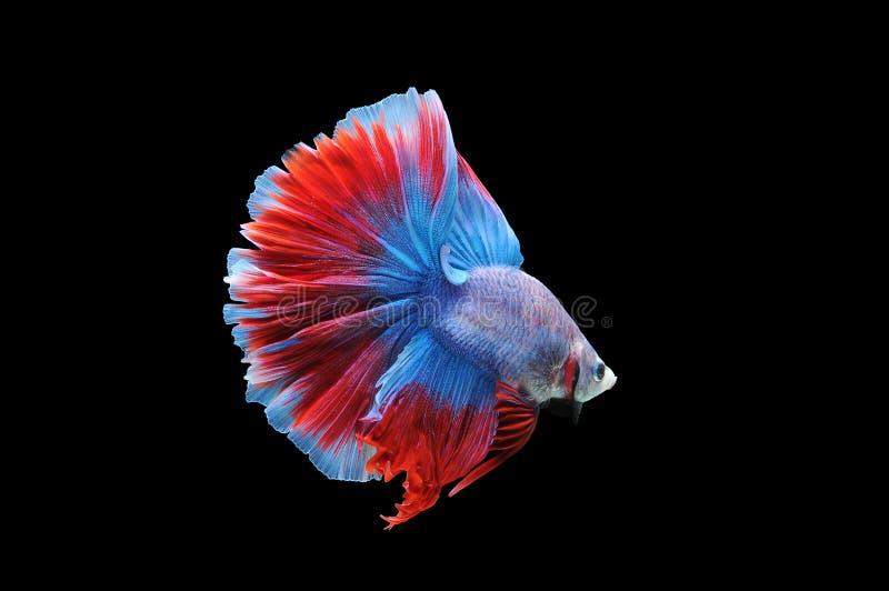 Bettavissen, siamese het vechten vissen, betta splendens op zwarte achtergrond, vissen op zwarte achtergrond, vissen wordt geïsol stock foto's