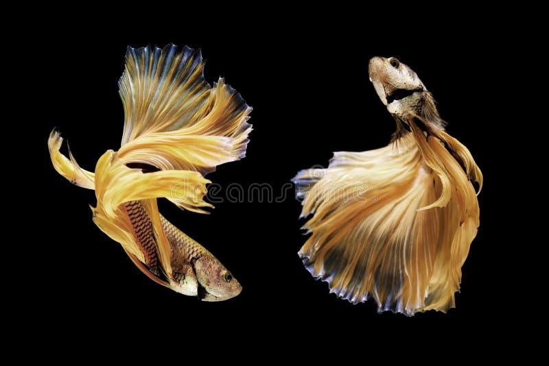 Bettavissen, siamese het vechten vissen op zwarte worden geïsoleerd die stock foto