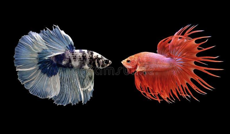Bettavissen, siamese het vechten vissen op zwarte worden geïsoleerd die royalty-vrije stock fotografie
