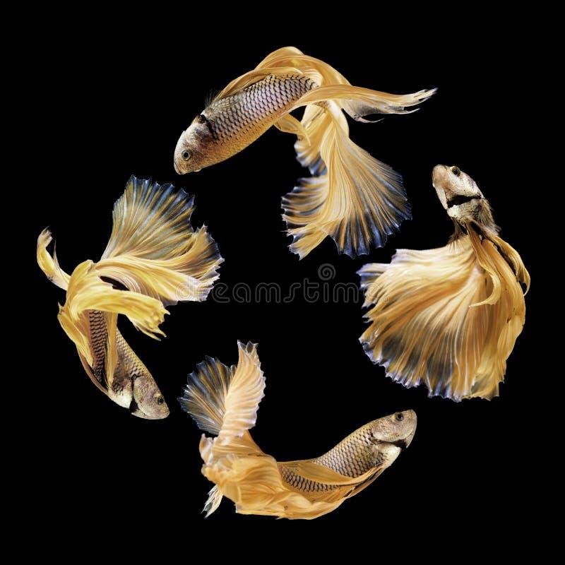 Bettavissen, siamese het vechten vissen op zwarte worden geïsoleerd die stock afbeeldingen