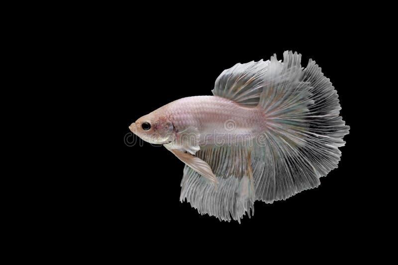 Bettavissen, siamese het vechten vissen op zwarte worden geïsoleerd die royalty-vrije stock foto