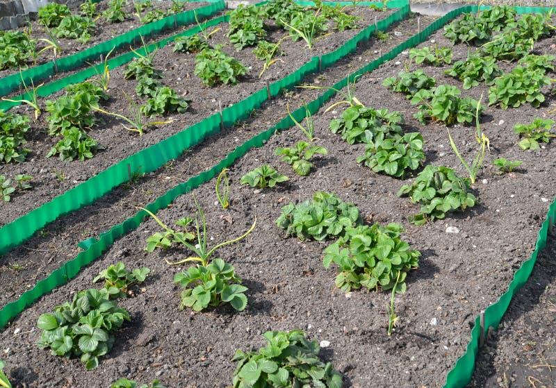 Betten mit Erdbeere und Knoblauch auf einem Garten stationieren im Frühjahr lizenzfreie stockfotografie