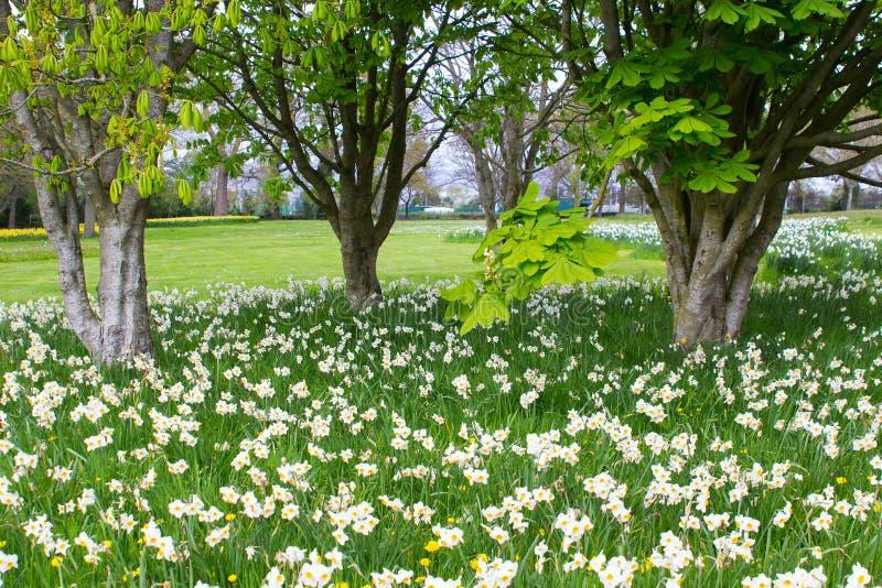 Betten von weißen Narzissen und von gelben Narzissen im Allgemeinen Park in Barnett-` s Desmesne Ende April kurz vor der Blüte sc lizenzfreies stockfoto