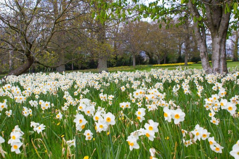 Betten von weißen Narzissen und von gelben Narzissen im Allgemeinen Park in Barnett-` s Desmesne Ende April kurz vor der Blüte sc lizenzfreie stockbilder