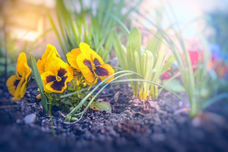 Betterave rouge de fleurs d'été dans la lumière d'aube photos libres de droits