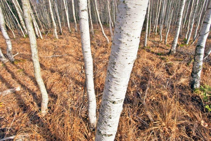 betula δάσος σημύδων στοκ εικόνες