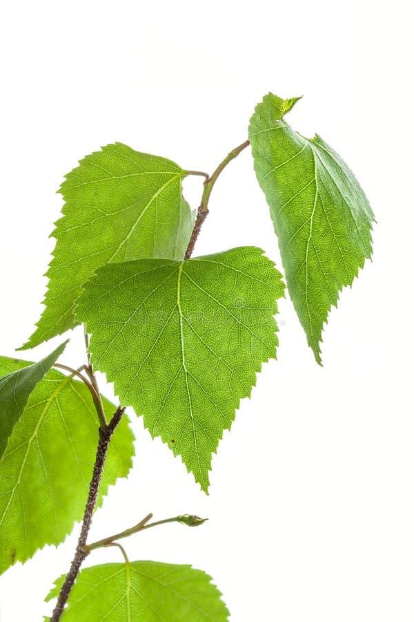 Betula pendula royalty-vrije stock afbeelding