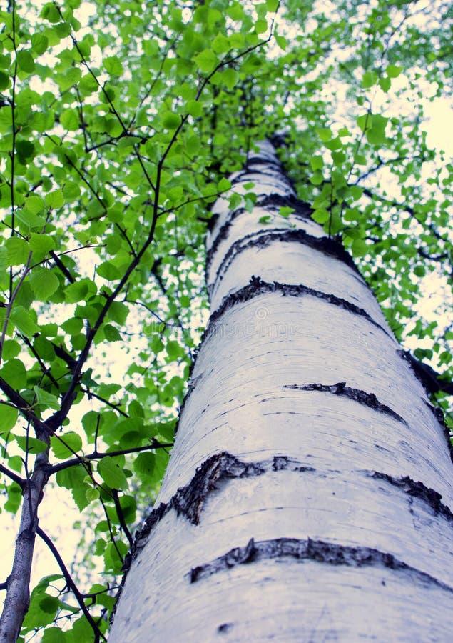 Betula pendula en parc tôt de ressort à Moscou photographie stock libre de droits