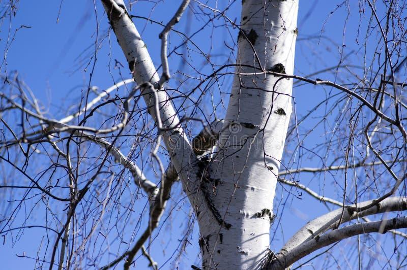 Betula Pendula vita trädstam och filialer i solljus mot blå himmel royaltyfri foto