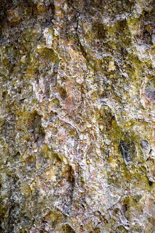 BetulaAlnoides textur royaltyfria bilder